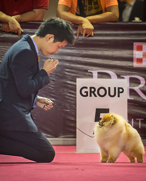 Joe Hauze - #1 Pomeranian and Chow Chow Breeder in Indonesia